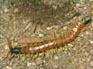 Эти белесые или темно-коричневые насекомые, похожие на гусеницу с многочисленными ножками...
